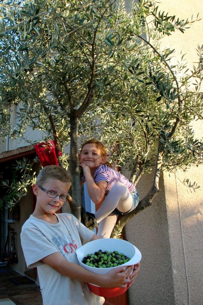 kids picking Olives off our Olive Tree