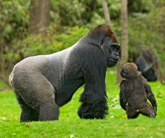 self tours congo gorillas
