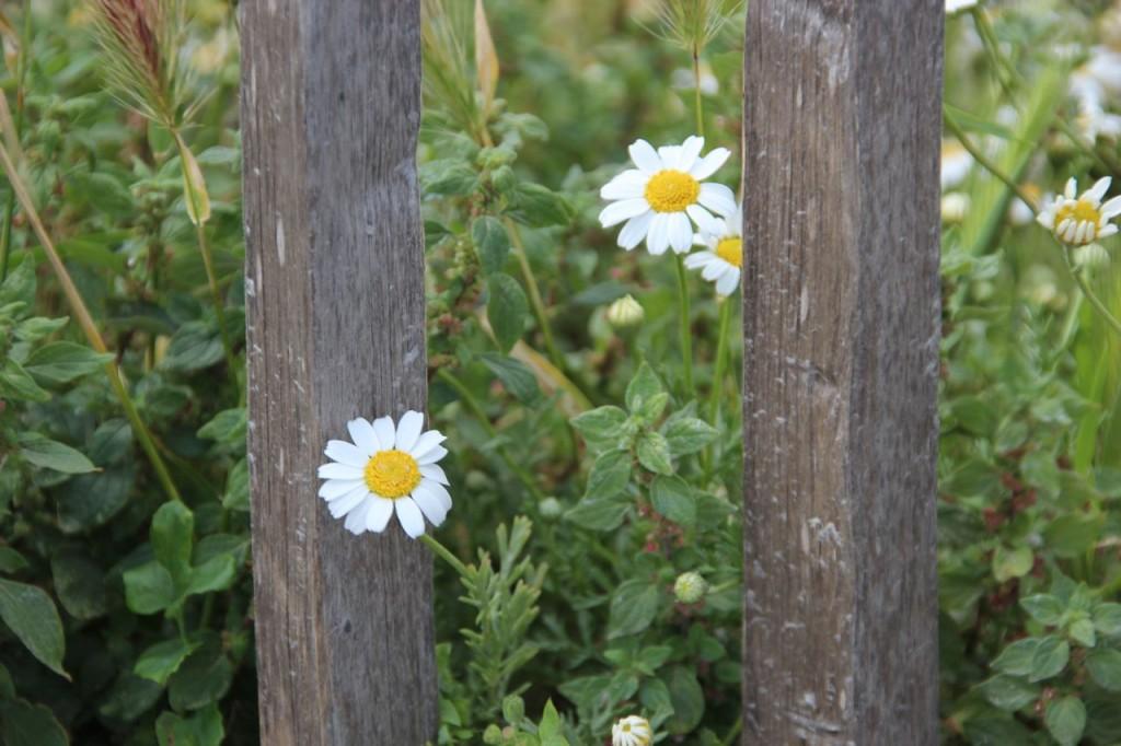 Peeking daisies