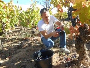 Alfonz harvesting carignan grapes for Domaine Lou Cayla