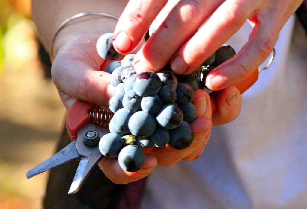 only the best grapes go into the carignan