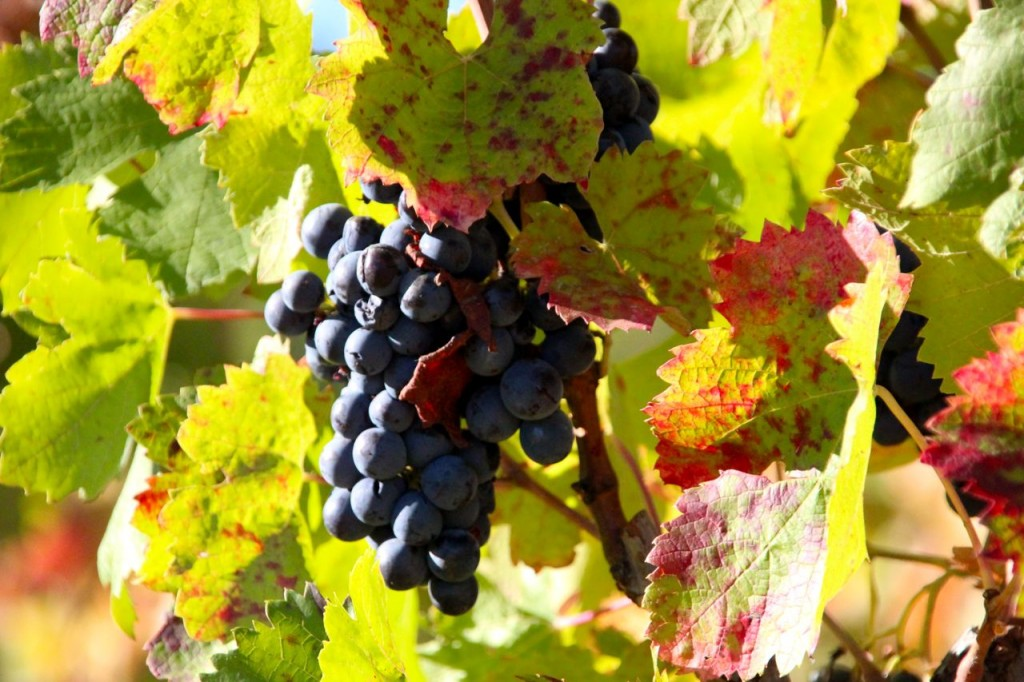 ripened grapes, changing leaves,
