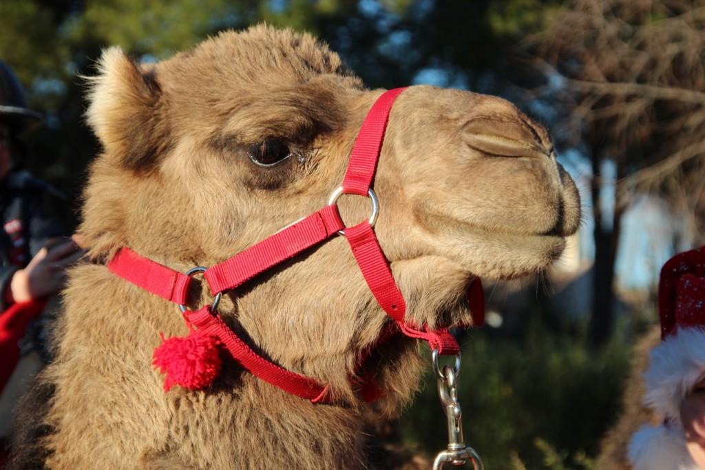 Camel rides Capestang