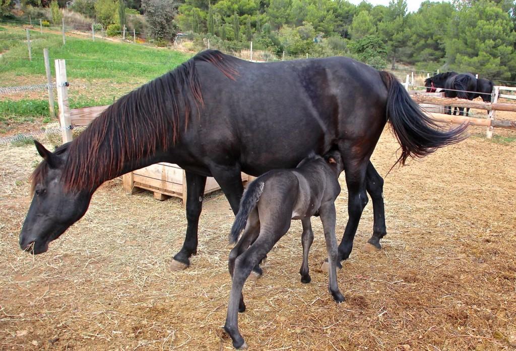 La Fount Del Bosc - baby horses