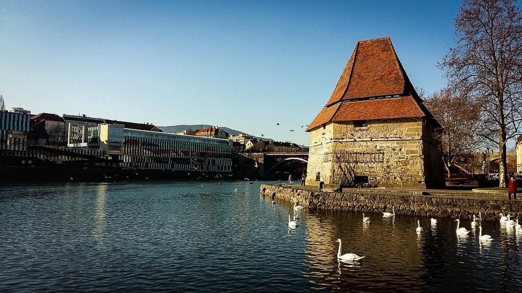 Swan in Drava Maribor