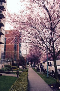 Blossoming cherry trees vancouver