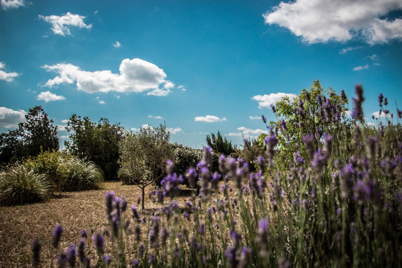 southern france - lavenders